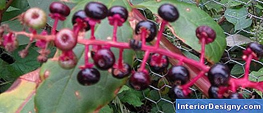 Berry-Producing Puud