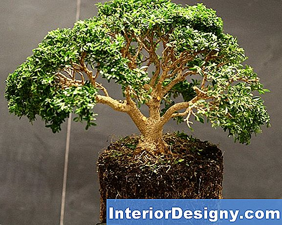 Boxwood Bonsai Hooldus