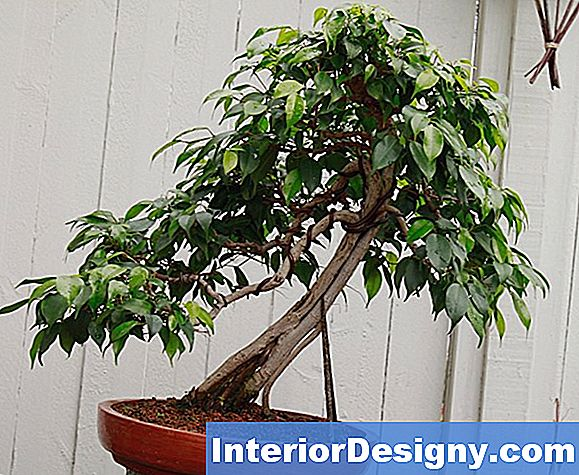 Ficus Või Fig Bonsai Puu Info