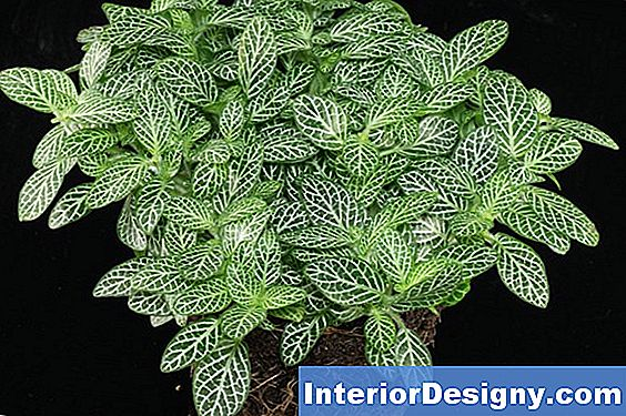 Fittonia Albivenis Care