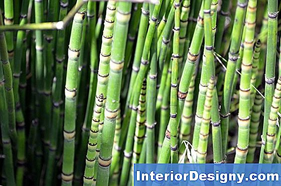 Horsetail Plant Care