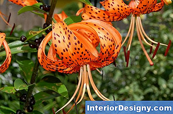 Oriental Orange Tiger Lily'I Paljundamine