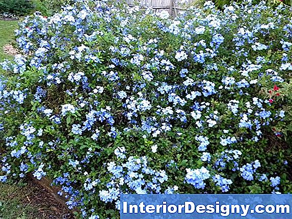 Imperial Blue Cape Plumbago Plant Care