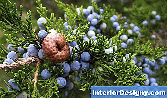 Juniper Berry Bushes