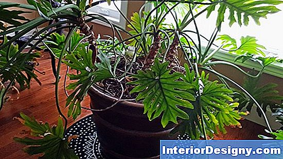 Lacy Tree Philodendron Growing Tips