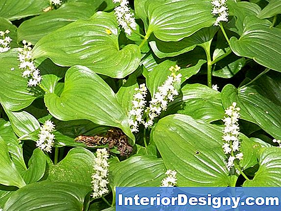 Lily Of The Valley & Hosta Companion Taimed