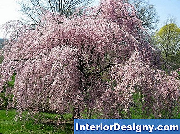 Pink Weeping Dekoratiivne Cherry Tree: Zones & Growing Information