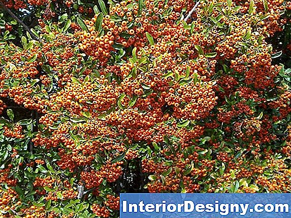 Pyracantha Mohave'I Pügamine