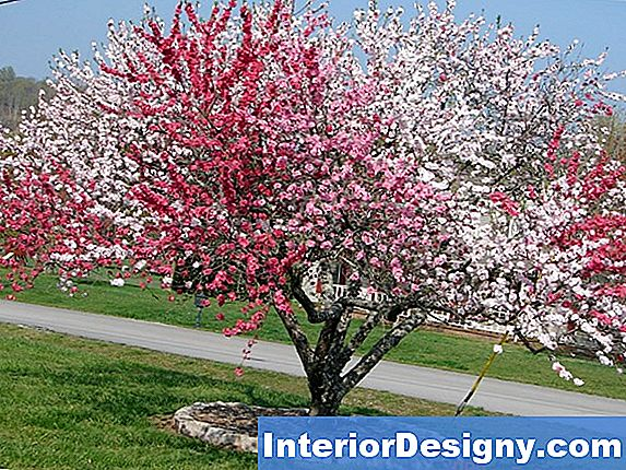 Red Plum Tree Gardening Tips