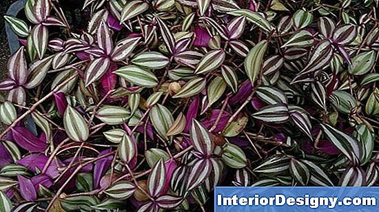 Red Wandering Jew Plant Care