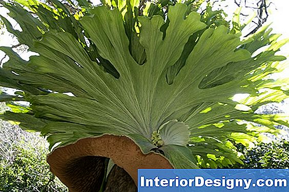 Staghorn Fern Varieties