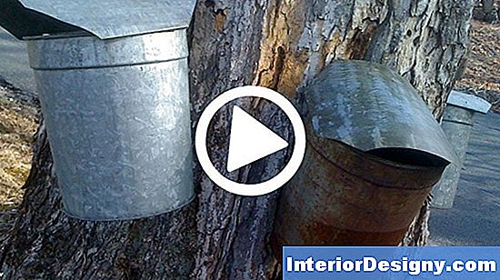 Sugar Maple Sap Info