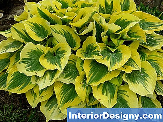 Sun-Loving Hosta Taimed