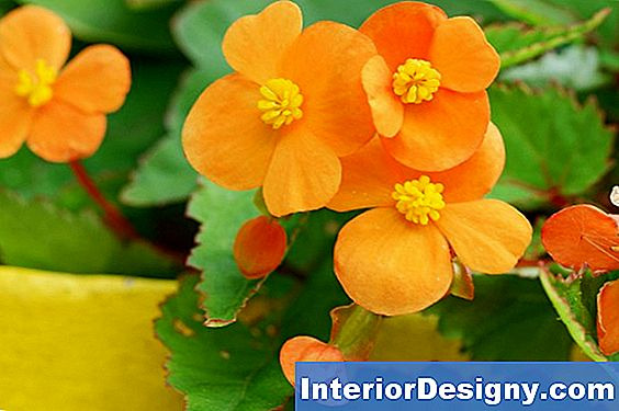 Tropical Begonia Liigid