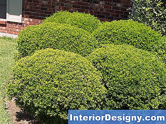 Weeping Boxwood Evergreen Taimed
