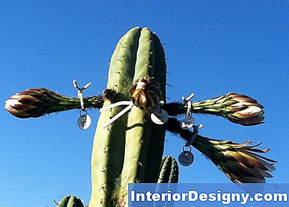Mis On Cereus Lill?