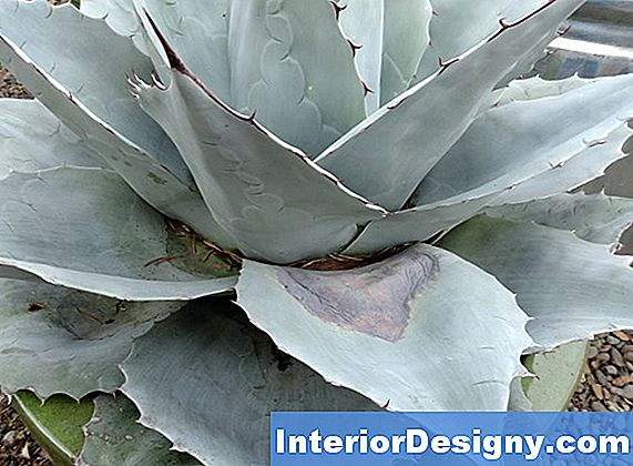 Agave Crown Rot