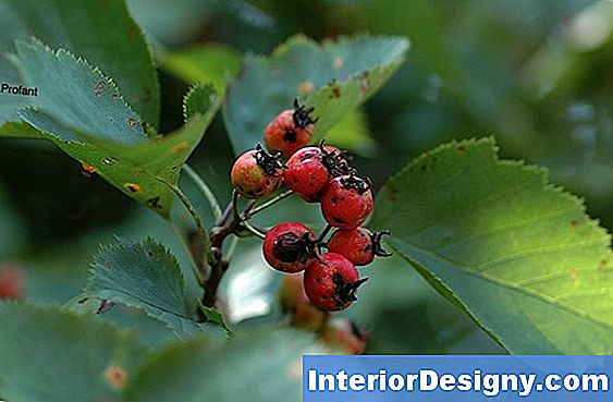 Hawthorn Indiano Ha Spine?