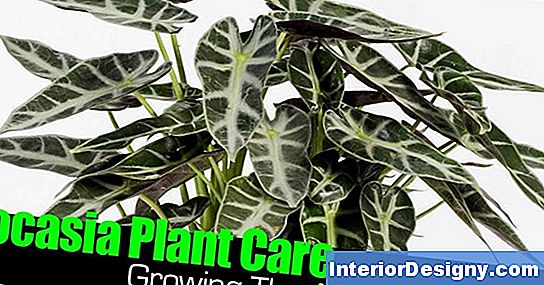 Winter Care For Colocasia
