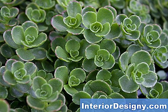Come Piantare Sedum For Shade