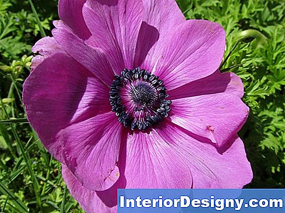 Come Piantare Anemone Coronaria In Inverno