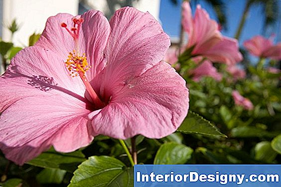 Can Hibiscus Flowers Hurt Dogs Se Mangiano I Fiori?