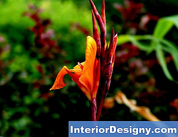 Canna Lily Colors