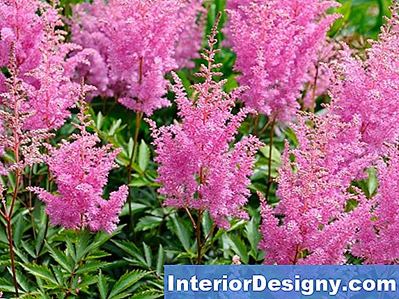 Companion Plants For Astilbes