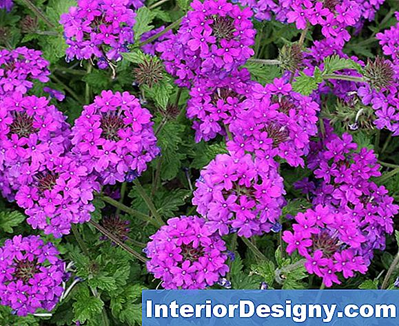 Companion Plants Or Shrubs Per Verbena Homestead Purple