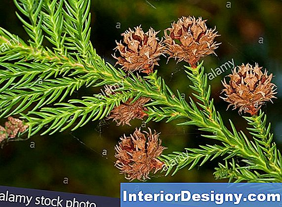 Cryptomeria Japonica Twig Blight