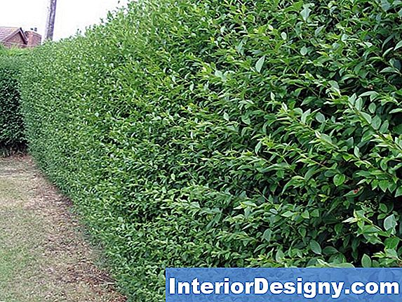 Full Sun Hedging Plants