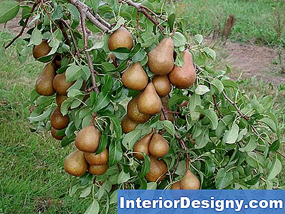 Harrow Time Pear Tree Harvest Time