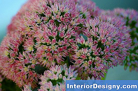 Come Riproduce La Autumn Joy Sedum?