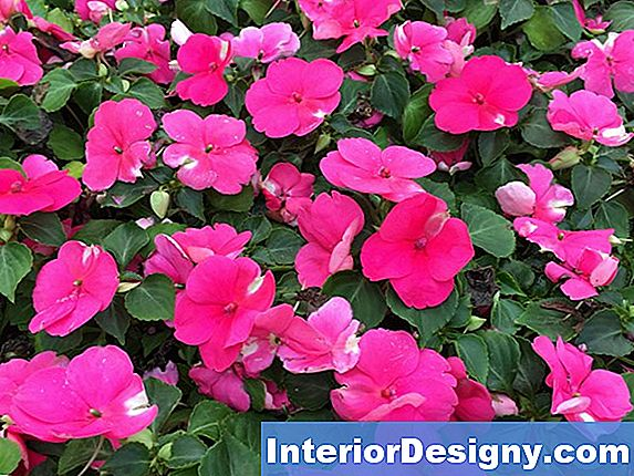 Come Space Impatiens In Planting
