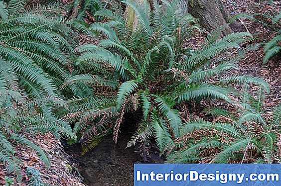 My Sword Fern Is Brown In Inverno