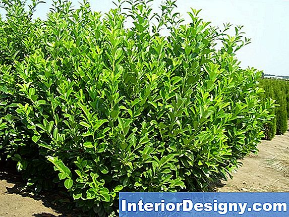 Cherry Laurel Tree Velenoso