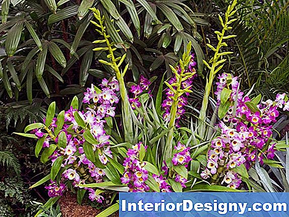 Spray Orchid Vs. Cane Orchid