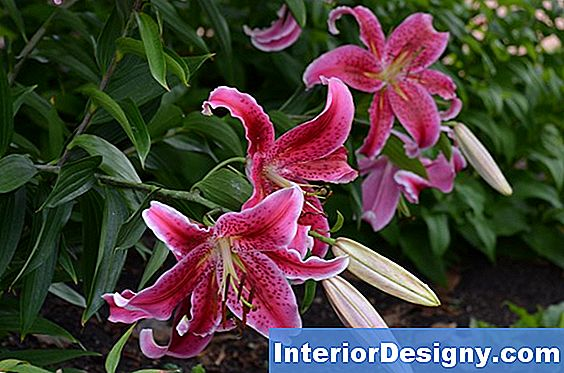 Stregazer Lily Pests