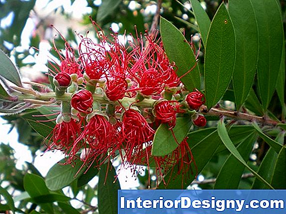 Quando Callistemon Bloom?