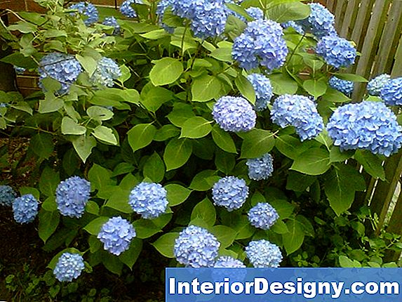 Everblooming Hydrangea Plants