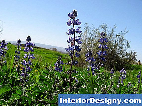 Lupine Plant Facts