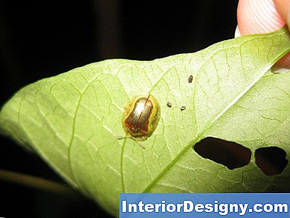 Morning Glory Diseases & Insects