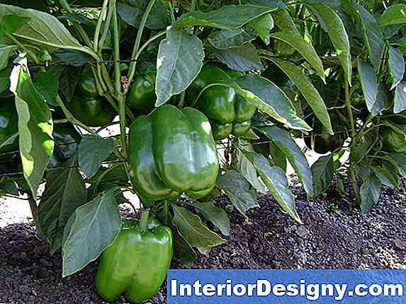 California Wonder Bell Pepper Plants