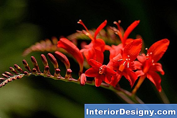 Crocosmia Culture