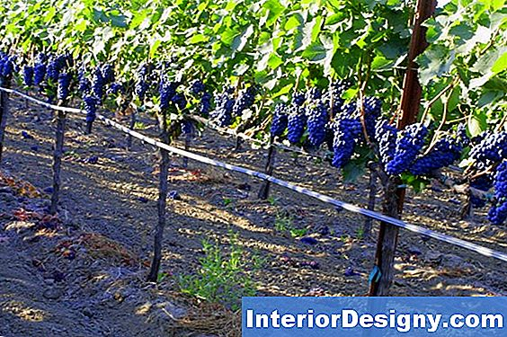 High-Trellises Cordon System For Drue Vine Growing
