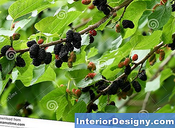 Madura Mulberry Tree Care