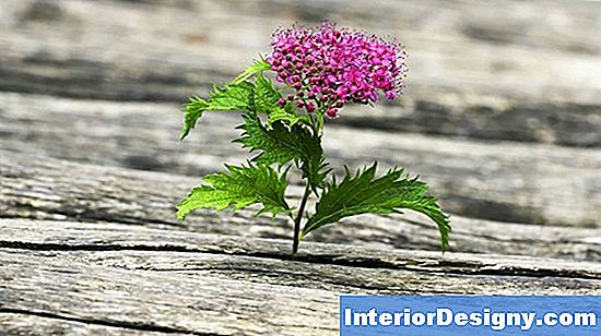Renascimento Spirea Care & Maintenance