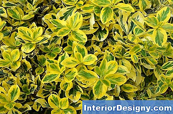 Arbustos Evergreen Variegated Pequenos