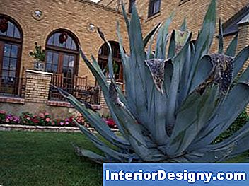 Agave Krone Rot
