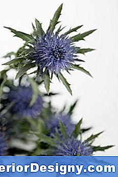 Blue Sea Holly Bewässerungsanforderungen